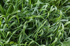 Fresh green grass with dew drops close up. Water driops on the fresh grass after rain. Light morning dew on the grass. Fresh green grass with dew drops close up Royalty Free Stock Photo