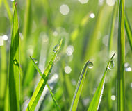 Fresh green grass with dew drops Royalty Free Stock Images
