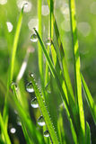 Fresh green grass with dew drops closeup Royalty Free Stock Photo