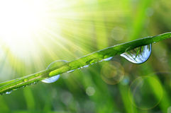 Fresh green grass with dew drops closeup Royalty Free Stock Images