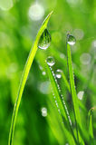 Fresh green grass with dew drops closeup Stock Image