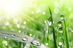 Fresh green grass with dew drops closeup. Nature Background Royalty Free Stock Photos