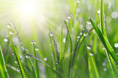 Fresh green grass with dew drops closeup Stock Photo