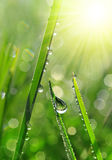 Fresh green grass with dew drops closeup. Stock Images