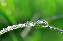 Fresh green grass with dew drops closeup. Royalty Free Stock Photo