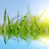 Fresh green grass with dew drops closeup. Royalty Free Stock Photos