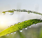 Fresh green grass with dew drops closeup. Royalty Free Stock Photography