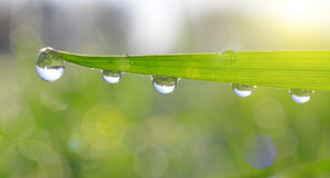 Fresh green grass with dew drops Royalty Free Stock Photos