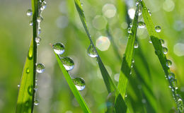Fresh green grass with dew drops closeup. Royalty Free Stock Image