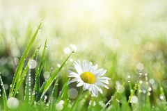 Fresh green grass with dew drops and daisy on meadow closeup. Stock Photos