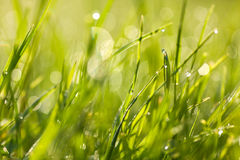 Fresh green grass with dew drops at dawn Stock Photography