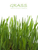 Fresh green grass with dew drops Stock Images