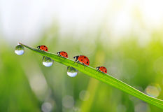 Fresh green grass with dew drops and ladybirds Royalty Free Stock Photography