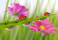 Fresh green grass with dew drops and ladybugs Stock Photos