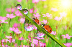 Fresh green grass with dew drops and ladybugs Royalty Free Stock Images