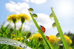 Fresh green grass with dew drops and ladybugs. Stock Image