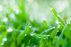 Fresh green grass with dew drops natural background Stock Image