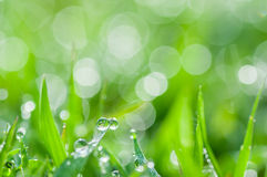 Fresh green grass with dew drops natural background Royalty Free Stock Images