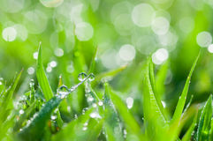 Fresh green grass with dew drops natural background Stock Photo