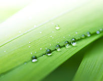 Fresh green grass. Dew drops on fresh spring grass on a spring morning Stock Images