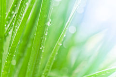 Fresh green grass. Dew drops on fresh spring grass on a spring morning Royalty Free Stock Image