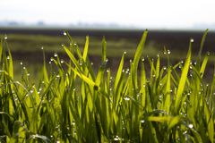 Fresh green grass with dew drops and sunlight royalty free stock photo