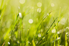 Fresh green grass with dew drops at sunrise