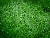 Fresh green grass in the dew Stock Photo