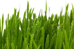 Fresh Green Grass with Drops Dew, Royalty Free Stock Image