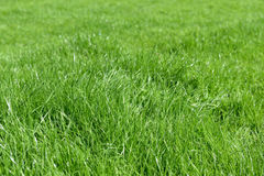 Fresh green grass with drops of dew Royalty Free Stock Photos