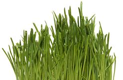 Fresh Green Grass with Drops Dew / isolated on Royalty Free Stock Images