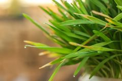 Fresh Green Grass with Drops Few. Nowrooz spring holiday plant. Extremely close up shot royalty free stock photos