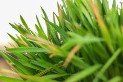 Fresh Green Grass with Drops Few. Nowrooz spring holiday plant. Extremely close up shot royalty free stock photo