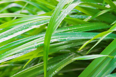 Fresh green grass with drops of morning dew Royalty Free Stock Image