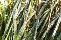 Fresh green grass with drops of water Royalty Free Stock Image