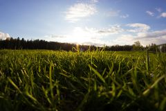 Fresh green grass on a field. Low angle Stock Photo