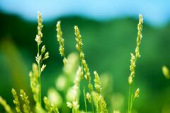 Free Fresh Green Grass Field On Blue Sky Blurred Background Close Up, Yellow Long Stem Spikes On Wild Meadow Soft Focus Macro Royalty Free Stock Image - 182243816