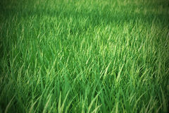Fresh green grass with a focal blur in the Royalty Free Stock Photography