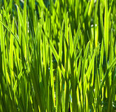 Fresh green grass in the garden Royalty Free Stock Photography