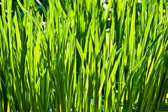 Fresh green grass in the garden Stock Image