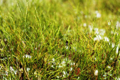 Fresh green grass growing at the beginning of spring Stock Images