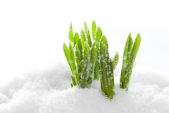 Fresh green grass growing form snow. Spring start Stock Images