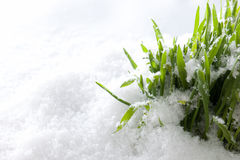 Fresh green grass growing form snow. Spring start Royalty Free Stock Photos
