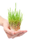 Fresh green grass in the hand Stock Photography