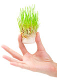 Fresh green grass in the hand Stock Images