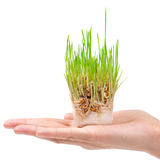 Fresh green grass in the hand Stock Image