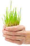 Fresh green grass in the hand Royalty Free Stock Image