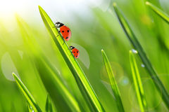 Fresh green grass with ladybugs closeup. Stock Images