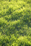 Fresh green grass on a lawn Stock Photography