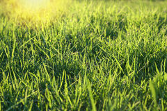 Fresh green grass on a lawn Royalty Free Stock Photography